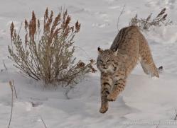 bobcat-3622-montana-copyright-photographers-on-safari-com