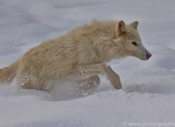 Arctic Wolf 2014-1copyright-photographers-on-safari-com