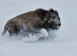 Bison 2014-1copyright-photographers-on-safari-com
