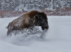 Bison 2014-2copyright-photographers-on-safari-com