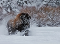 Bison 2014-3copyright-photographers-on-safari-com