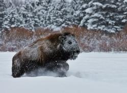 Bison 2014-5copyright-photographers-on-safari-com