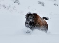 Bison 2014-6copyright-photographers-on-safari-com