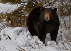 Black Bear 2014-21copyright-photographers-on-safari-com