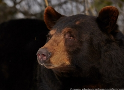Black Bear 2014-22copyright-photographers-on-safari-com