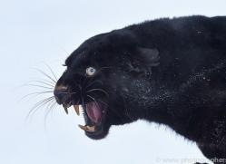 Black Leopard 2014-1copyright-photographers-on-safari-com