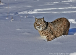 Bobcat 2014-1copyright-photographers-on-safari-com