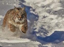 Bobcat 2014-2copyright-photographers-on-safari-com