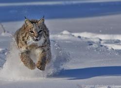 Bobcat 2014-4copyright-photographers-on-safari-com
