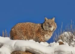 Bobcat 2014-5copyright-photographers-on-safari-com