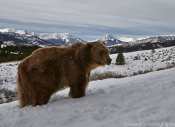 Grizzly Bear 2014-1copyright-photographers-on-safari-com