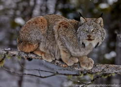Lynx 2014-1copyright-photographers-on-safari-com
