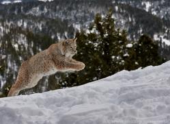 Lynx 2014-2copyright-photographers-on-safari-com