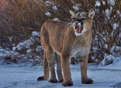 Mountain Lion 2014-12copyright-photographers-on-safari-com
