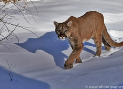 Mountain Lion 2014-13copyright-photographers-on-safari-com