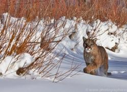 Mountain Lion 2014-14copyright-photographers-on-safari-com