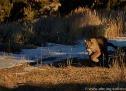 Mountain Lion 2014-3copyright-photographers-on-safari-com