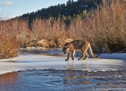 Mountain Lion 2014-6copyright-photographers-on-safari-com