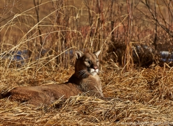 Mountain Lion 2014-8copyright-photographers-on-safari-com
