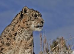 Snow Leopard 2014-3copyright-photographers-on-safari-com