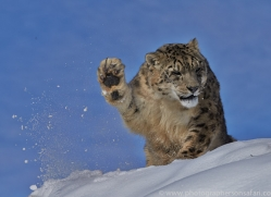 Snow Leopard 2014-4copyright-photographers-on-safari-com
