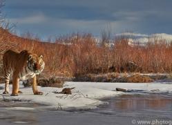Tiger 2014-13copyright-photographers-on-safari-com