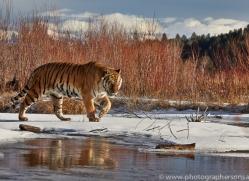 Tiger 2014-14copyright-photographers-on-safari-com
