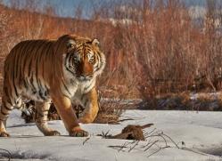 Tiger 2014-15copyright-photographers-on-safari-com