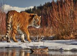 Tiger 2014-16copyright-photographers-on-safari-com