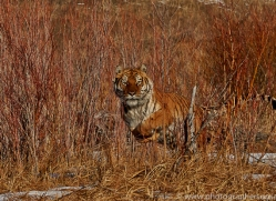 Tiger 2014-17copyright-photographers-on-safari-com