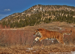 Tiger 2014-18copyright-photographers-on-safari-com