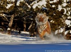 Tiger 2014-24copyright-photographers-on-safari-com