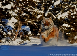 Tiger 2014-25copyright-photographers-on-safari-com
