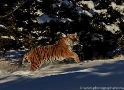 Tiger 2014-27copyright-photographers-on-safari-com