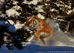 Tiger 2014-28copyright-photographers-on-safari-com