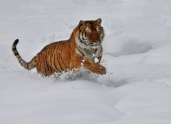 Tiger 2014-29copyright-photographers-on-safari-com