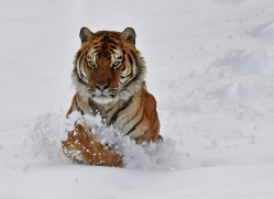 Tiger 2014-33copyright-photographers-on-safari-com
