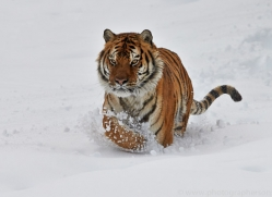 Tiger 2014-34copyright-photographers-on-safari-com