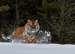 Tiger 2014-36copyright-photographers-on-safari-com