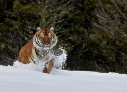 Tiger 2014-37copyright-photographers-on-safari-com