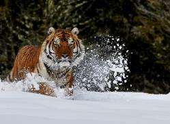 Tiger 2014-38copyright-photographers-on-safari-com