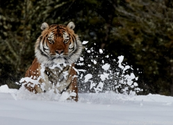 Tiger 2014-39copyright-photographers-on-safari-com