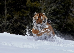 Tiger 2014-40copyright-photographers-on-safari-com