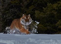Tiger 2014-42copyright-photographers-on-safari-com