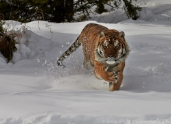 Tiger 2014-43copyright-photographers-on-safari-com