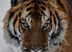 Tiger 2014-46copyright-photographers-on-safari-com