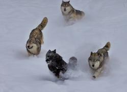 Wolf 2014-10copyright-photographers-on-safari-com