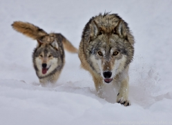 Wolf 2014-14copyright-photographers-on-safari-com