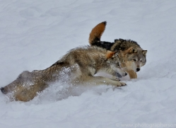 Wolf 2014-19copyright-photographers-on-safari-com