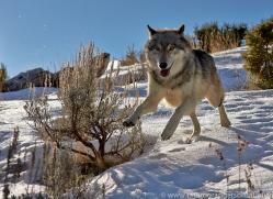 Wolf 2014-1copyright-photographers-on-safari-com